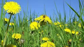Fly on yellow dandelion flower stock footage