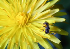 Fly and yellow dandelion. A macro image of a small fly with pollens on the yellow dandelion flower Royalty Free Stock Images