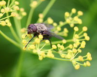 Fly on yellow dill flower Royalty Free Stock Photography