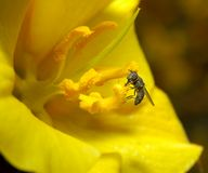 A fly on the yellow flower Royalty Free Stock Photography