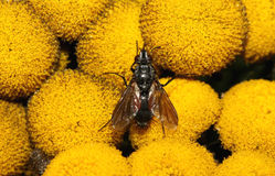 Fly on yellow flower. Image of a black fly on a bright yellow flower Stock Photography