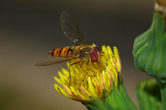 Fly on a yellow flower Stock Image