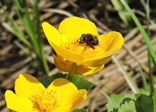 Fly in yellow flower Stock Photos