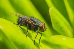 Fly. On a yellow flower in a garden in Jijel, Algeria royalty free stock image