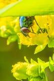 Fly. On a yellow flower in a garden in Jijel, Algeria stock photos