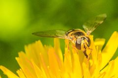 Insect. Fly on a yellow flower in a garden in Jijel, Algeria stock photos