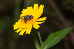 Fly on yellow flower Stock Image