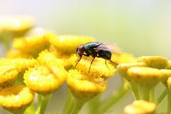Fly on yellow flowers Royalty Free Stock Photo