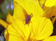 Fly on a yellow Royalty Free Stock Photo