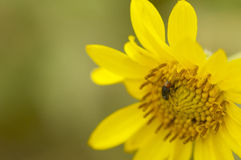 Fly on a yellow wildflower Royalty Free Stock Photos