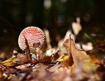 Flyagaric蘑菇 免版税库存照片