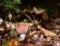 Flyagaric蘑菇 库存图片