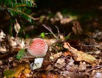 Flyagaric mushroom. In fall forest Stock Image