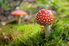 Flyagaric mushroom in moss Royalty Free Stock Photos