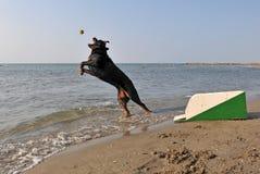 flyball пляжа Стоковая Фотография RF