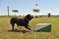 Flyball Stock Image