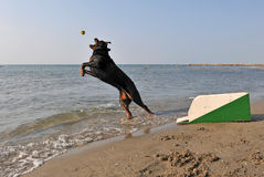 Flyball on the beach Royalty Free Stock Photography