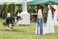 Flyball del collie de Chien Border foto de archivo