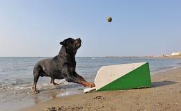 Flyball op het strand Stock Fotografie