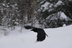 Flyby ворона стоковая фотография