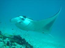 Flyby del rayo de Manta Fotografía de archivo