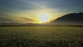 Flycam bewegt sich über Reis-Felder gegen Hügel-Schattenbild-Sonnenaufgang stock footage