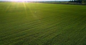 Flycam bewegt sich niedrig über das grüne Feld, das durch Sonnenuntergangstrahlen beleuchtet wird stock video footage