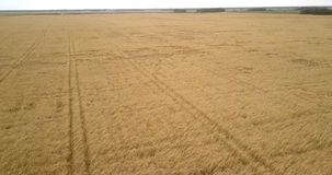 Flycam fliegt niedrig über die Forderungen, die mit den goldenen Weizenähren durchgesetzt werden stock footage