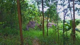 Flycam se mueve a través de bosque joven con los altos árboles finos