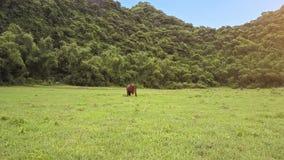 Flycam si muove verso il toro che mangia l'erba sul campo contro il paesaggio