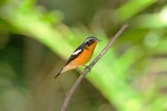 flycatcher αρσενικό mugimaki στοκ εικόνες με δικαίωμα ελεύθερης χρήσης