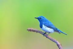 Flycatcher ουλτραμαρίνης πουλί Στοκ εικόνες με δικαίωμα ελεύθερης χρήσης