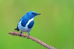 Flycatcher ουλτραμαρίνης πουλί Στοκ φωτογραφίες με δικαίωμα ελεύθερης χρήσης