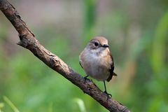 flycatcher παρδαλό στοκ φωτογραφία