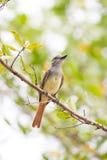 Flycatcher που σκαρφαλώνει καφετής-λοφιοφόρο στο δέντρο Στοκ Εικόνες