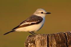 Flycatcher στο βιότοπο φύσης, συνεδρίαση πουλιών στο άσπρου και γκρίζου πουλί χλόης, Mato Grosso, Pantanal, Βραζιλία στοκ φωτογραφία