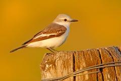 Flycatcher τύραννος στο βιότοπο φύσης, συνεδρίαση πουλιών στο άσπρου και γκρίζου πουλί χλόης, Mato Grosso, Pantanal, Βραζιλία Άσπ στοκ φωτογραφία με δικαίωμα ελεύθερης χρήσης