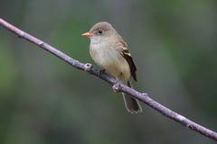 Flycatcher ольшаника Стоковое Фото