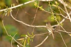 flycatcher Royaltyfri Bild