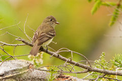 Flycatcher Stock Image