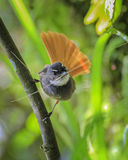 flycatcher στοκ φωτογραφία