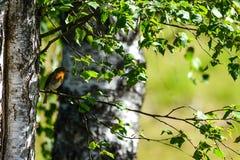 flycatcher Photo libre de droits