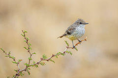 Πορφυρό Flycatcher θηλυκό Στοκ Εικόνες