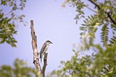 flycatcher Στοκ Φωτογραφίες
