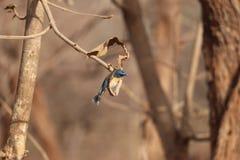 flycatcher Photographie stock libre de droits