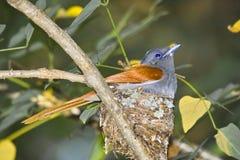 FLYCATCHER africain de paradis (viridis de Terpsiphone) photos stock