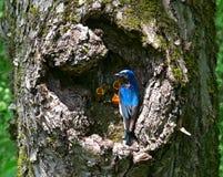 Flycatcher al nido 1 Fotografia Stock Libera da Diritti