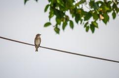 Flycatcher asiático de Brown Fotos de archivo libres de regalías