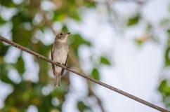 Flycatcher asiático de Brown Foto de archivo