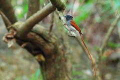 Flycatcher asiático del paraíso Imágenes de archivo libres de regalías